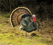 stock photo of wild turkey  - Turkey Tom strutting his stuff with red wattles and blue - JPG