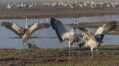 Dancing Cranes. Common Crane In Birds Natural Habitats. Bird Watching In Hula Valley poster