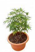 Marijuana Plant. Cannabis plant growing in potting soil. isolated on white. room for text. medical c poster
