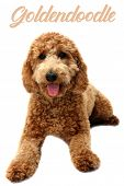 golden doodle dog. isolated on white. room for text. golden retriever and poodle mix dog.      poster