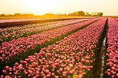 In Late April Through Early May, The Tulip Fields In The Netherlands Colourfully Burst Into Full Blo poster