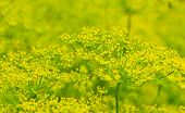 image of nouns  - luxuriantly flowering dill in the garden close up