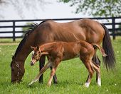 foto of bluegrass  - Newborn thoroughbred colt with mother on Kentucky horse farm - JPG