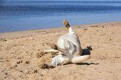 Golden Labrador Lying On The Beach. Dog Relaxes On Nature. Family Vacation. The Golden Labrador. Act poster