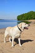 Golden Labrador Swimming In The River. A Dog Is Playing In The Water. Front Facing. Family Vacation poster