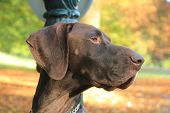 A German Shorthaired Pointer, 3 Year Old Male Dog poster