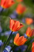Orange spring tulips in bloom