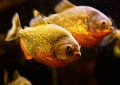 foto of piranha  - Red piranha  - JPG
