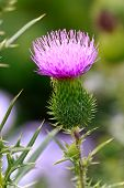 foto of scottish thistle  - Close up - JPG