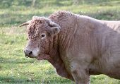 stock photo of charolais  - Charolais breeding bull in a field  in Allier - JPG
