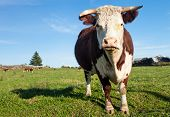 stock photo of hereford  - Hereford cow staring while grazing on the meadow - JPG