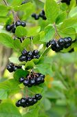 pic of chokeberry  - Branches of black chokeberry in the garden - JPG