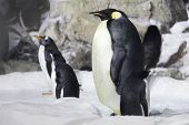 Emperor Penguin Looking On