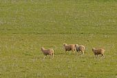 image of animal husbandry  - 4 young sheep walking in a grass pasture - JPG