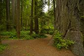 pic of redwood forest  - California Redwood Forest Landscape - JPG