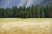 stock photo of mountain chain  - Yosemite Valley Meadows Tree Line and Mountains in Background - JPG