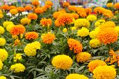 stock photo of greenhouse  - Bright yellow and orange marigolds - JPG