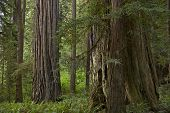 stock photo of redwood forest  - Northern California Redwood Forest - JPG