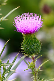 picture of scottish thistle  - Close up - JPG