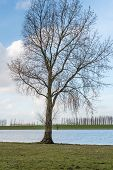 Lonely Tree At The Banks Of A Dutch River