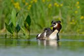 grebe on the lake (podiceps cristatus)