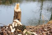 Tree taken down by beaver on a bank Radbuza River off Pilsen City. Czech Republic - Europe