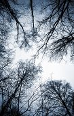 Looking Up On Leafless Birch Trees In The Forest