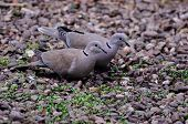 picture of ring-dove  - Pair of Collared Doves feeding on fallen seed - JPG