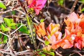 bougainvillea with grasshopper