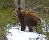 picture of omnivore  - Brown bear in the woods in winter - JPG