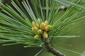 pic of pinus  - Armand