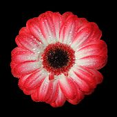 picture of gerbera daisy  - top view from a gerbera daisy red and white colored with dew drops isolated on black background - JPG