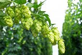 picture of bine  - ripened hop cones in the hop garden
