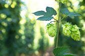 pic of vegetation  - ripened hop cones in the hop garden - JPG