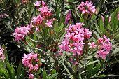 image of oleander  - Oleander - JPG