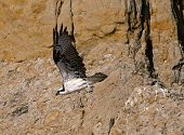 stock photo of osprey  - An Osprey leaves its perch on the cliffs at Torrey Pines - JPG