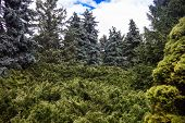 picture of blue spruce  - Landscape with blue spruces and juniper bushes - JPG