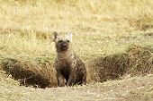 pic of hyenas  - A young hyena  - JPG