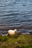 picture of iceland farm  - Playful Icelandic Sheep in Meadow in Iceland - JPG