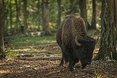 stock photo of aurochs  - European bison (Bison bonasus) Prioksky-terraced reservation Russia ** Note: Visible grain at 100%, best at smaller sizes - JPG