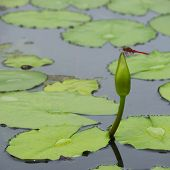 foto of water bug  - Dragonfly on water lily and green leaf in natural pond - JPG