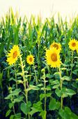 picture of zea  - Sunflowers with yellow inflorescence at an corn field.