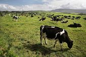 picture of caw  - Caw are grazing on a green grass in Mayo County - JPG