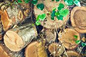 foto of loach  - stack of old firewood overgrown by loach - JPG