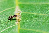 stock photo of aphid  - ant collects honeydew from aphids herd on leaf of walnut tree close up - JPG