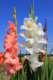stock photo of gladiola  - white and orange gladiolas in the flower field - JPG