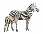 foto of foal  - Zebra and ten days old foal isolated on white background - JPG