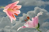 picture of encounter  - Encounter pink lilies before a sky with clouds - JPG