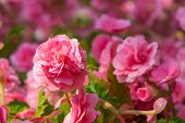 picture of begonias  - pink begonia flower blooming in the garden - JPG