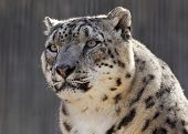 stock photo of snow-leopard  - dramatic close up portrait of a snow leopard - JPG